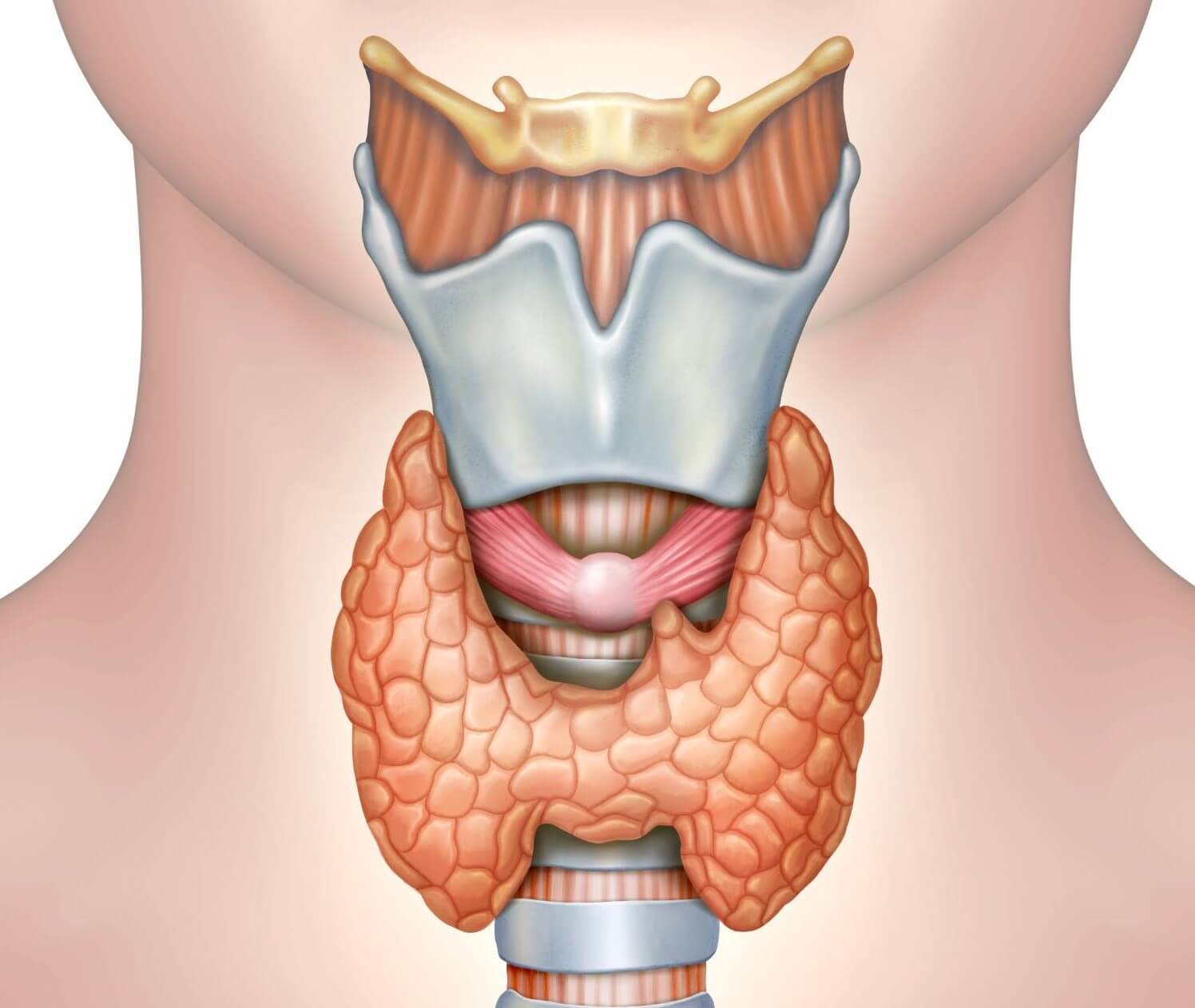 ilustracion tiroides